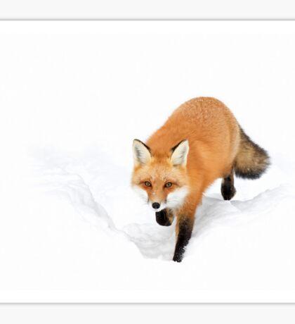 Red Fox - Algonquin Park Sticker