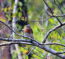 Eastern Bluebird by Cynthia48
