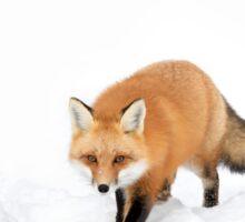 Red Fox in snow - Algonquin Park Sticker