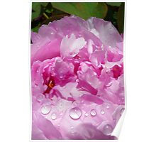 Pink Peony with Rain Drops Poster