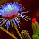 Photo Art, common groundsel seed head by Hugh McKean
