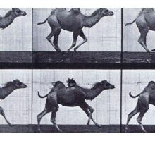 Muybridge - Camel in motion Sticker