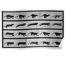 Muybridge Study - Cat Leaping Poster