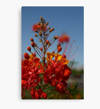 Red Mexican Bird of Paradise Canvas Print