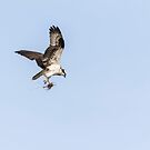 Osprey 2016-6 by Thomas Young