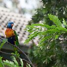 Lorikeet Leith Park Victoria 20151220 0488   by Fred Mitchell