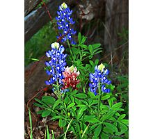 Texas State Flower ~Touch of Aggie Maroon Photographic Print