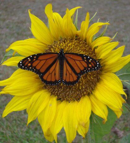 Monarch Butterfly on a Sunflower Sticker