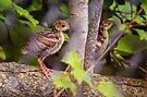 Two Wild Turkey Poults by Yannik Hay