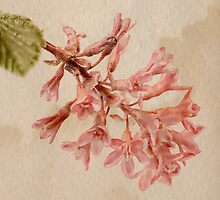 Pink Blossom by John Edwards