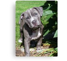 Gorgeous Baby Pitbull Puppy Dog (Head Tilted) Canvas Print