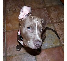 I'm All Ears - Blue Pit Bull Photographic Print