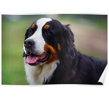 Bernese Mountain Dog Portrait Poster