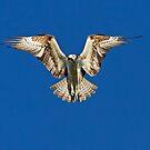 Hunter - Osprey by Jim Cumming