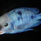 DOLPHIN CICHLID : Haplochromis moorii by AnnDixon