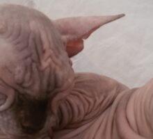 Tortie choccolate sphynx sleeping Sticker