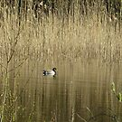 Duck in Spring by ienemien