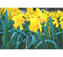 Spring Time Daffodils Photographic Print