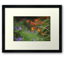 Montbretia, Orange Wild Flowers Framed Print