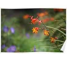 Montbretia, Orange Wild Flowers Poster