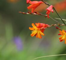 Montbretia, Orange Wild Flowers Sticker