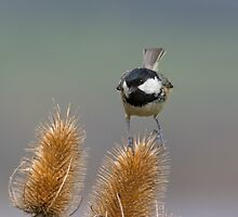 Coal tit on Teasel by M.S. Photography/Art