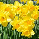 Spring Daffodils by apple88