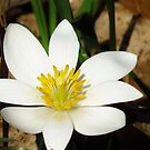 Bloodroot Wildflower  by lorilee