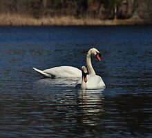 Spring time is mating time... Mute Swans by Poete100