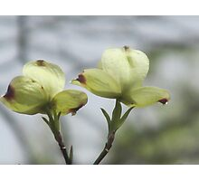 Blooming DogWood Tree Photographic Print