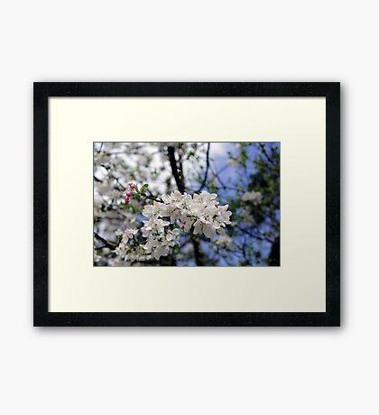 Bee at work on the apple tree flowe Framed Print