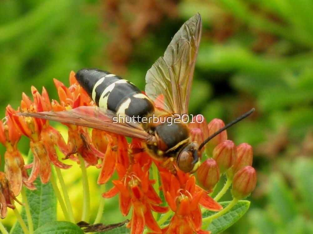Cicada Killer Wasp by shutterbug2010