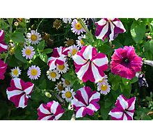 Flowers with white and purple colors. Photographic Print
