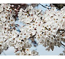 Somerset Sakura Photographic Print