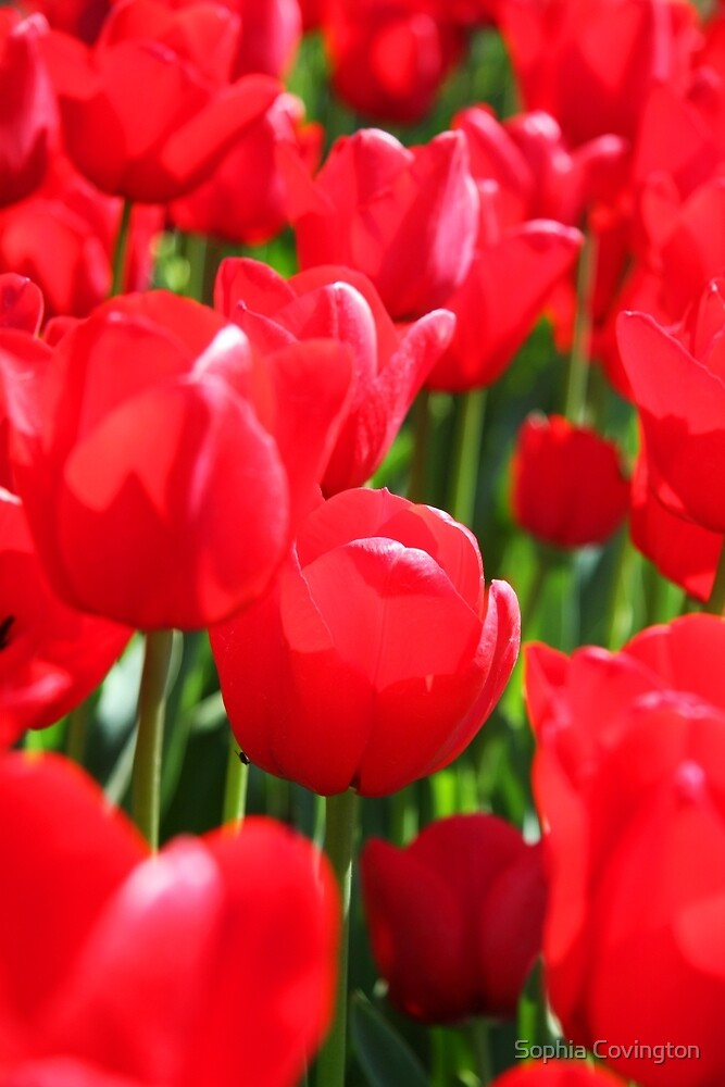 Field Of Red Tulips by Sophia Phoenix