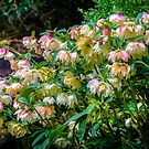 Profusion of Hellebores by vivsworld