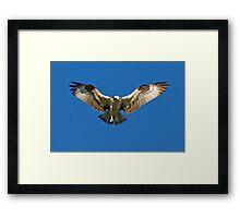 Osprey hunts for dinner Framed Print