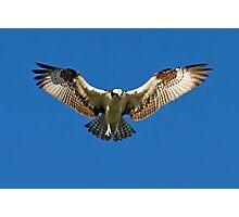 Osprey hunts for dinner Photographic Print