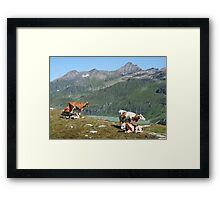 Dairy Cows High Up On A Mountain Framed Print