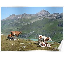 Dairy Cows High Up On A Mountain Poster