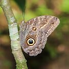 Giant Owl Butterfly by hummingbirds