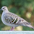 Common Bronzewing Pigeon by Trish Meyer