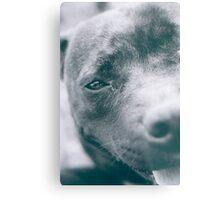 Delta - Staffordshire Bull Terrier Metal Print