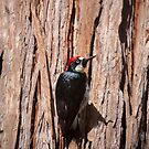 Woody woodpecker by Lynn Starner