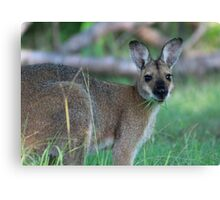 Wallaby Eating Grass Canvas Print