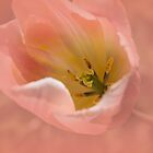 The Tulip by CarolM