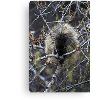 North American Porcupine Canvas Print