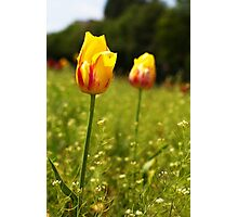 yellow and pink tulips Photographic Print