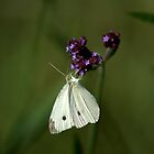 Cabbage Moth by Deborah McGrath