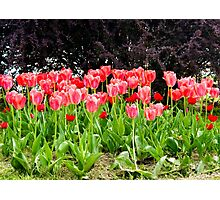 pink tulips on the flowerbed in the park Photographic Print